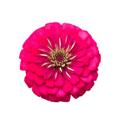 Zinnia flower with clipping path