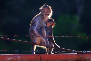 monkey mother and baby drinking milk from breast and playing nip