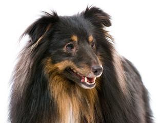 Sheltie dog breed