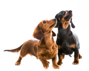 dogs breed dachshund