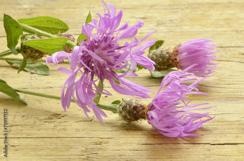 canvas print picture Centaurea cyanus Cornflower Fiordaliso Bleuet des champes