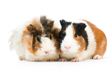 Pair of cute guinea pigs