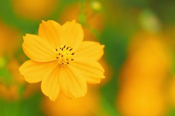 Close up of orange cosmos flower