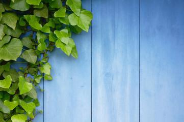 Hintergrund blaue Bretter mit Efeubewuchs