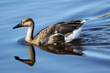 Swan goose on water