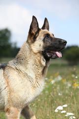 Beautiful German Shepherd dog sitting in flowering field