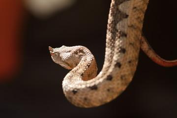 beautiful horned viper