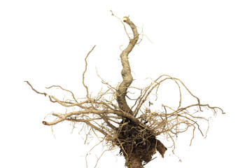 brown root of the plant on white background