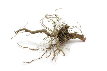 dry root of the plant on white background