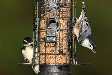Pair of birds on a feeder