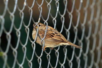 sparrow in wire fence