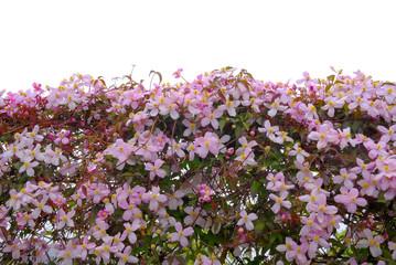 Blühende Klematis vor weißem Hintergrund