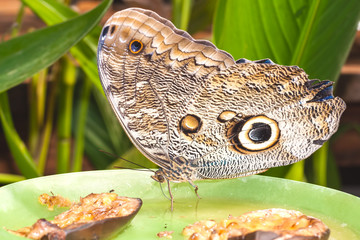 Giant Caligo oileus, the Oileus Giant Owl butterfly, amazonian r