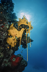 SUDAN, Red Sea, yellow sponges in the reproduction season