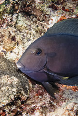 SUDAN, Red Sea, U.W. photo, Surgeonfish