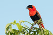 A male Northern Red Bishop (Euplectes franciscanus) in full bree