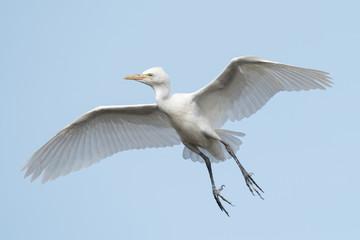 Cattle Egret (Bubulcus ibis) coasting in flight