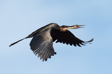 African Darter (Anhinga rufa) calling in flight