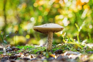 Decaying Bolete mushroom