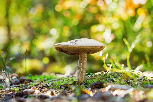 canvas print picture Decaying Bolete mushroom