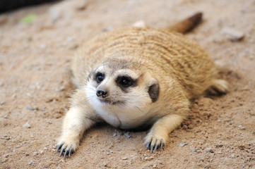 Meerkat or suricate, wild animal in action.