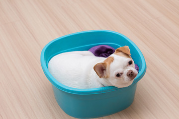 Chihuahua puppy sleep in the bucket