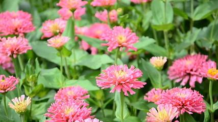 Field of pink gerbera. HD