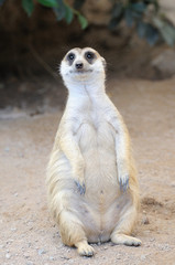 Meerkat or suricate, wild animal in action.