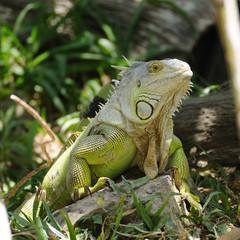 Single iguana on rock.