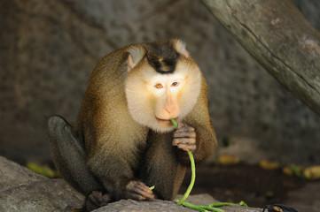 Macaca fascicularis eating bean