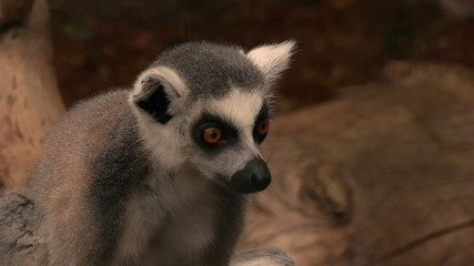 lemur, watching all around