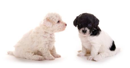 Zwei kleine Hundewelpen