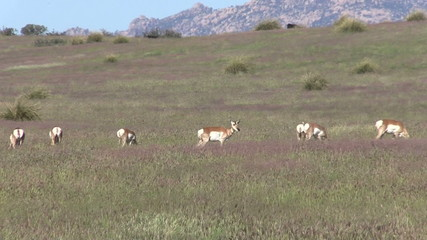 Pronghorn Herd Grazing in the Rut