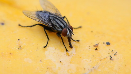 Close-up footage of a fly eating mango syrup. HD