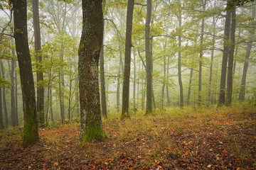 Foggy oak forest in the beginning of autumn, Slovakia.