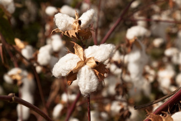 Cotton field in autumn