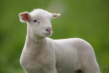 agneau elevage