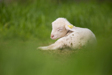 agneau sieste