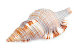 seashell shell isolated on white background
