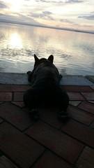 Bulldog francés contemplando el agua