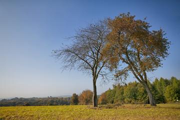 Zwei Bäume Auf der Waldwiese