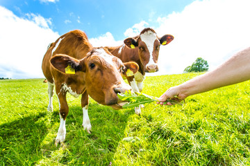 Zwei Kühe füttern 5
