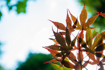 Autumn Maple leaves blur background