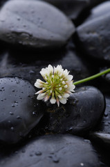 white flower and stones on wet background