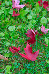 Red canadian maple leaf on grass
