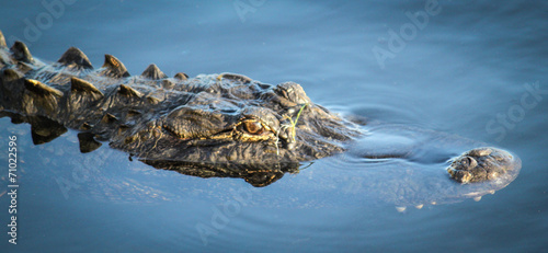 canvas print picture Floating Alligator