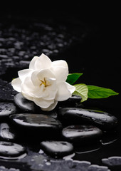 gardenia flower on pebbles –wet background