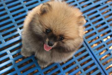 pomeranian puppy dog