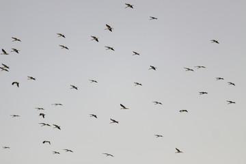 Flock of a storks flying on sky