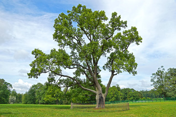 Big oak on a glade